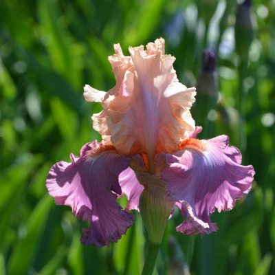 Pink/Purple Bearded Iris